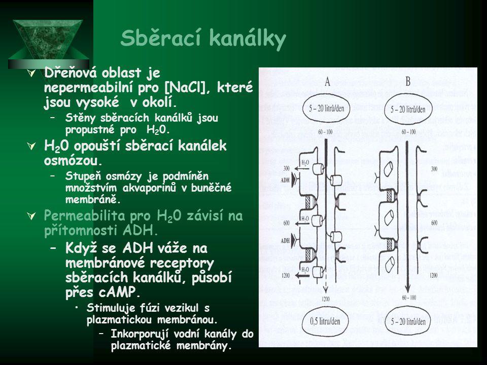 Sběrací kanálky Dřeňová oblast je nepermeabilní pro [NaCl], které jsou vysoké v okolí. Stěny sběracích kanálků jsou propustné pro H20.